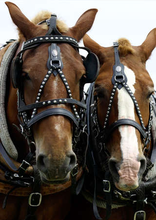 vigorously: This is a close-up of two horses heads side by side.