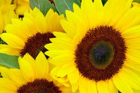 unfold: Sunflowers