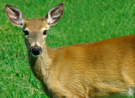 earthly: Young Deer Looking at Us