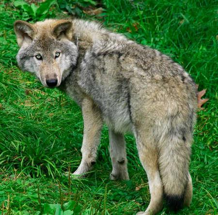 perceptive: Giovani lupo grigio