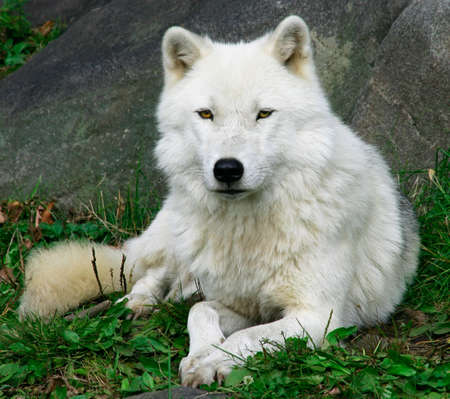wolves: Artic Wolf 2 Stock Photo