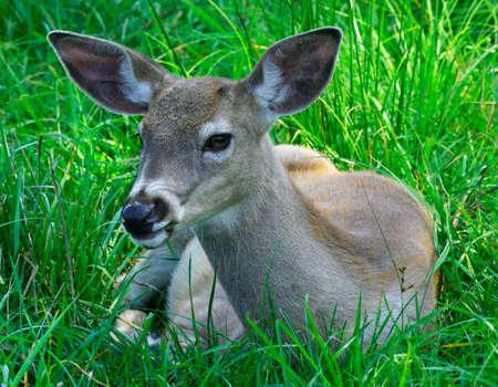 earthly: Young Deer Stock Photo
