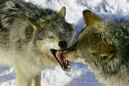 quadruped: Fighting Wolves