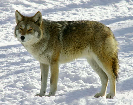 canid: Coyote Stock Photo