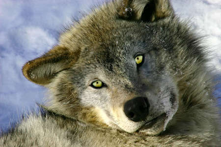 Resting Young Gray Wolf Stock Photo - 754944