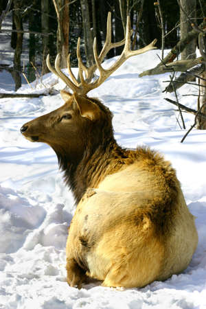 wapiti: Wapiti Resting in the Snow Stock Photo