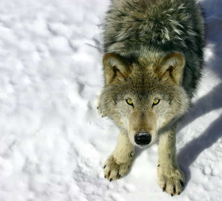gray wolf: Gray Wolf Looking Up at You