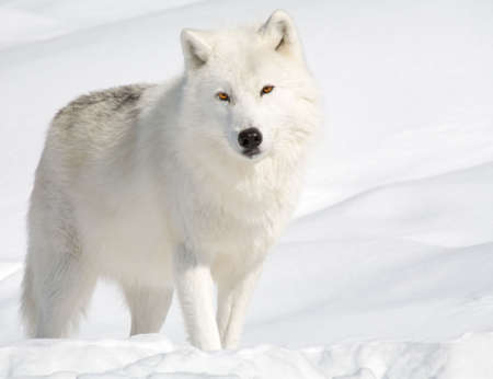 An arctic wolf in the snow is looking at the camera.  Banco de Imagens
