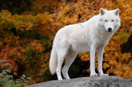 秋の日のカメラを見て北極のオオカミ