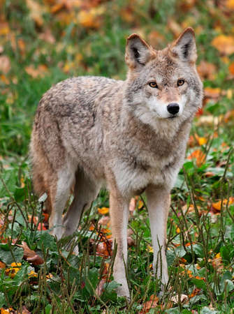 critters: Coyote Looking at the Camera Stock Photo