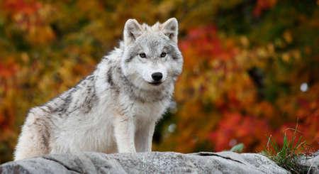 perceptive: Giovani Canis lupus arctos guardando la fotocamera in un giorno di autunno