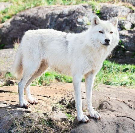 Young Arctic Wolf Standing on Rocks photo
