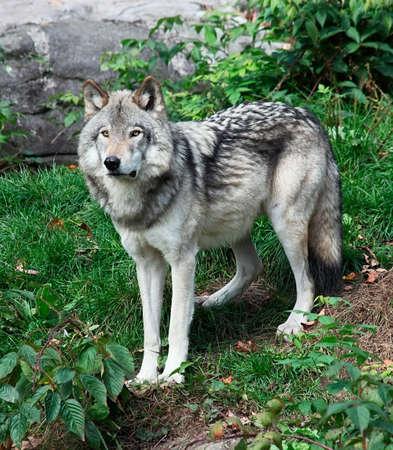 今後は灰色の狼の立っています。