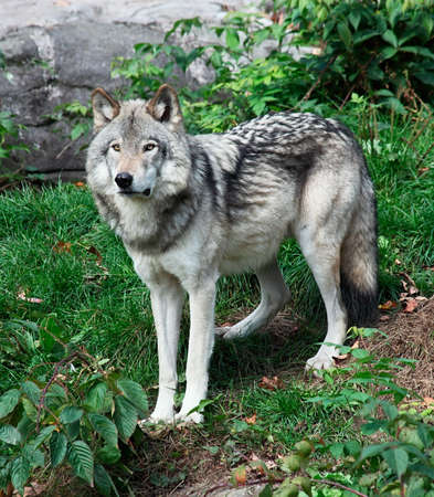 on gray: Gray Wolf Standing Looking Ahead