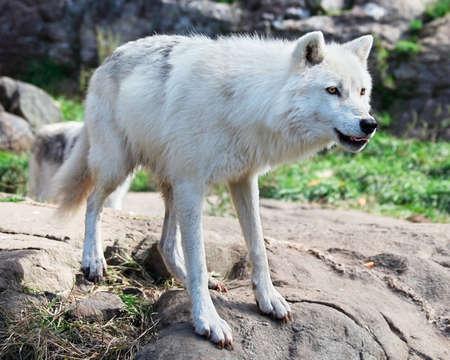 perceptive: Giovane lupo artico permanente sulla roccia  Archivio Fotografico