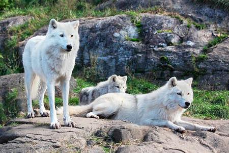 北極オオカミ家族