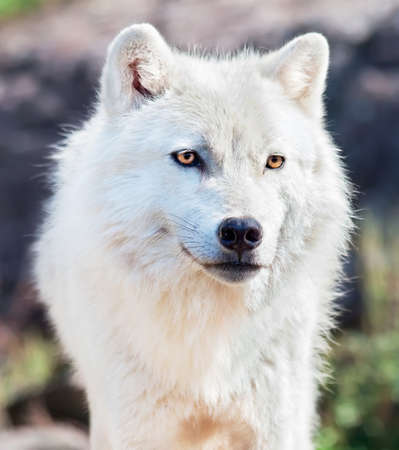 若い北極オオカミのクローズ アップ