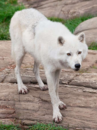 perceptive: Arctic Wolf Standing on Rocks  Stock Photo