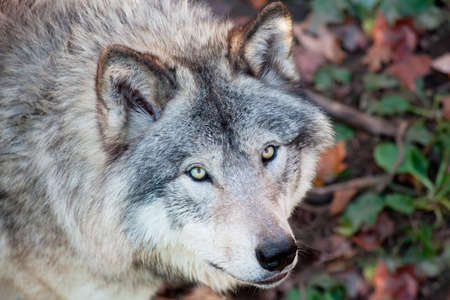 observant: Gray Wolf Closeup