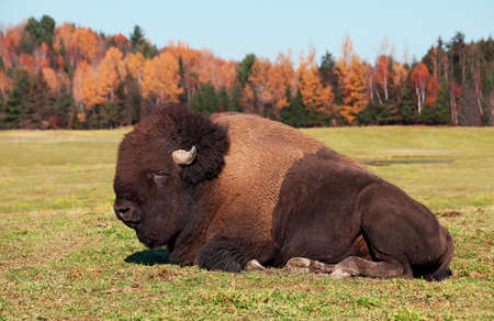 american bison: Bison also known as an American  Buffalo Stock Photo