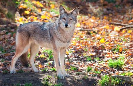 perceptive: Coyote Guardando la fotocamera Archivio Fotografico