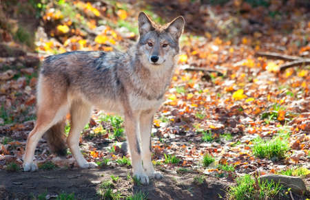 perceptive: Coyote Looking at the Camera Stock Photo