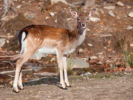 fallow deer: Fallow Deer Looking at the Camera Stock Photo