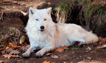 perceptive: Arctic Wolf Looking at the Camera