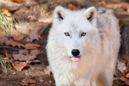 Arctic Wolf Sticking his Tongue Out at the Camera photo