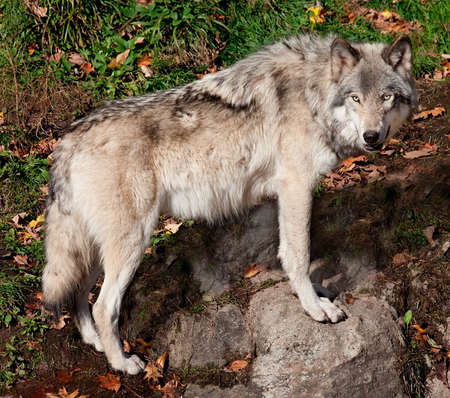 grey wolf: Gray Wolf Looking at the Camera