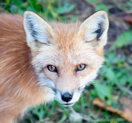 Young Red Fox Looking at Camera