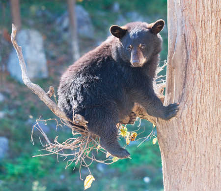 Black Bear Cub Sitting in a Tree and Looking at the Camera