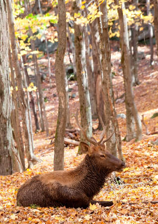 Elk Lying Down on a Fall Day