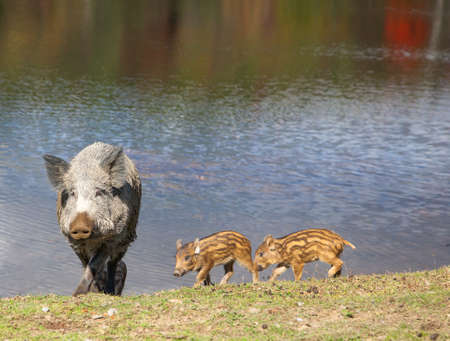 A wild pig and piglets walking by the lake Banco de Imagens