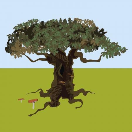 lindeboom: fantastische eik op een open plek en cantharellen