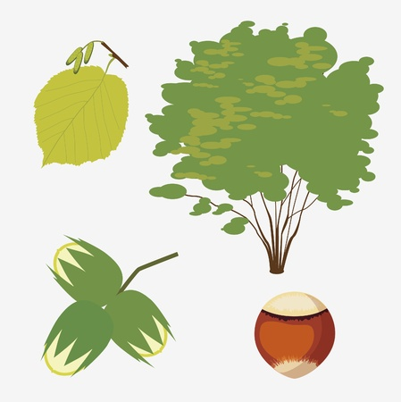 hazel grove ordinary with a realistic leaf and nut Stock Vector - 18568534