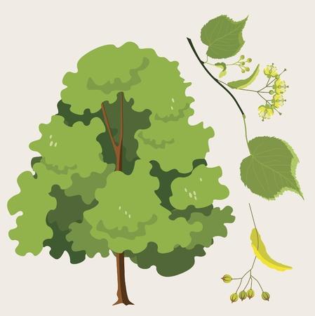 lindeboom: stad linden gewone met een blad en zaden Stock Illustratie