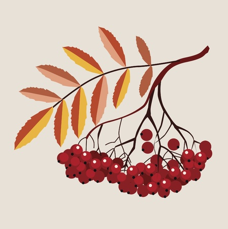 mountain ash branch with mature berries Stock Vector - 18568535