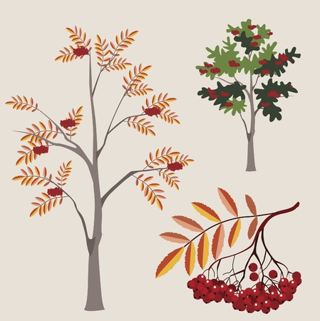 ordinary mountain ash in various options with a leaf and berries Vector