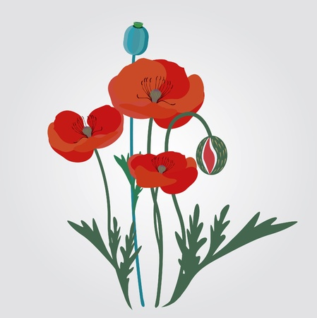 Red poppy flowers  illustration Vector