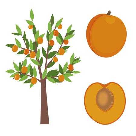 apricot tree: apricot tree illustration