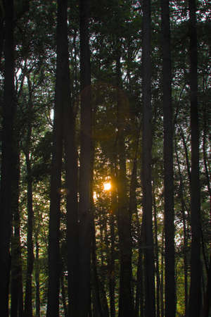 Wonderful sunset in the forest. Sunlight between trees with lens flare