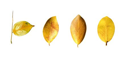 Yellow leaves isolated set on white background