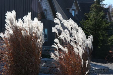 Tall feathery grass Imagens