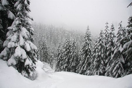 Wintery scene with tall pine trees
