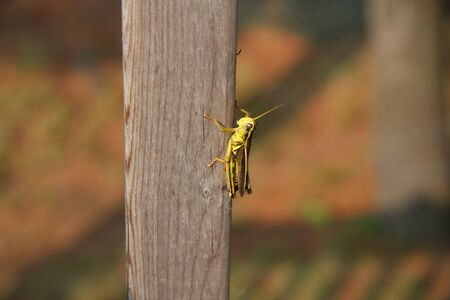 grasshopper closeup on wood pole