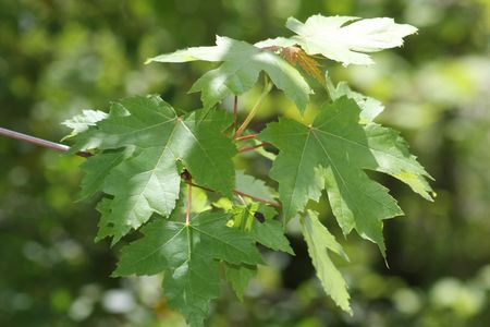 closeup of green maple leaves
