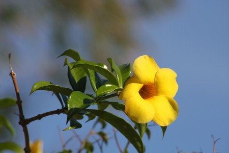 tropical yellow flower of St. Lucia