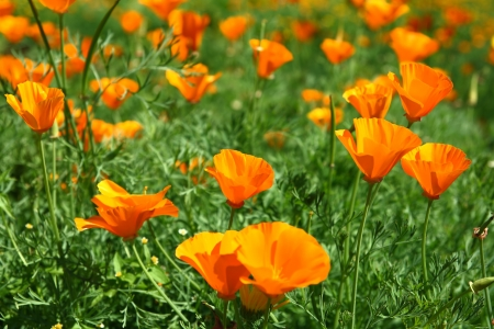 nuance: California Poppy Flowers Stock Photo