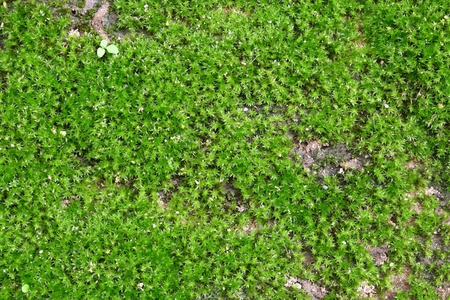 ground cover: Small Ground Cover Plants Background